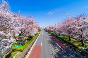 【国立通りの桜が見頃です】